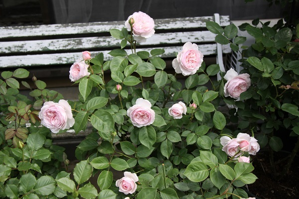 IMG_9442 rose170103.jpg