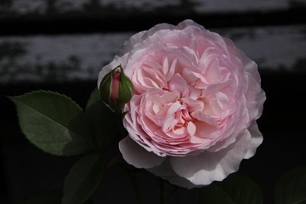 IMG_9450 rose170102.jpg