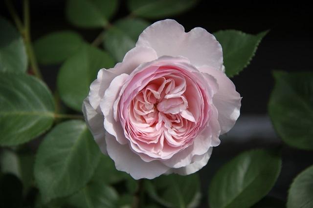 IMG_9451 rose170101.jpg