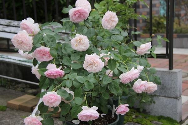 IMG_9467 rose170104.jpg
