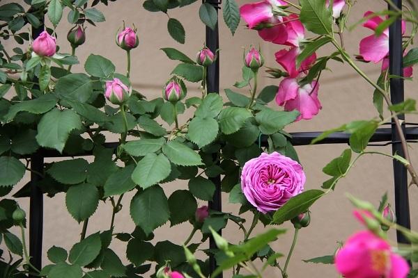 IMG_9469 rose 170212.jpg