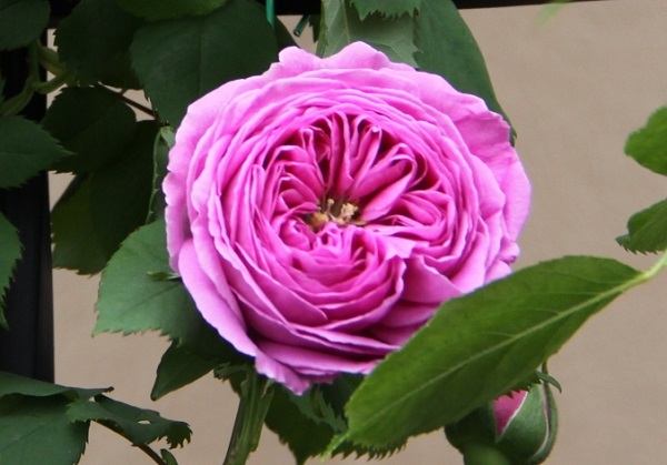 IMG_9469 rose 170213.jpg