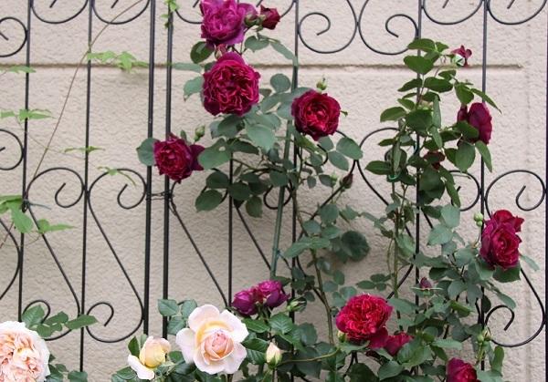 IMG_9471 rose 170209.jpg