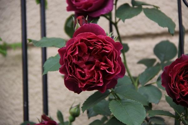 IMG_9478 rose 1702110.jpg