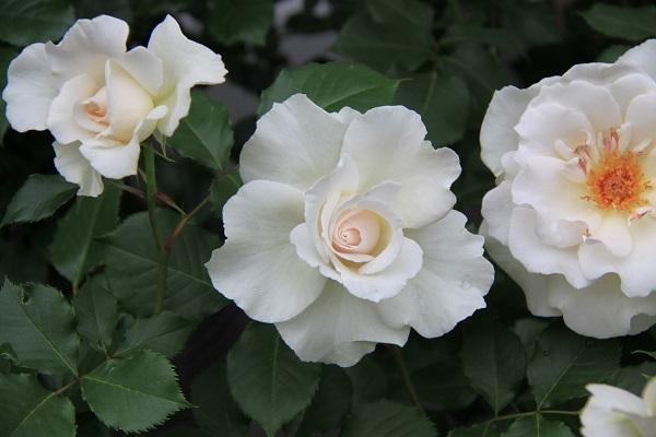 IMG_9501 rose 170207.jpg