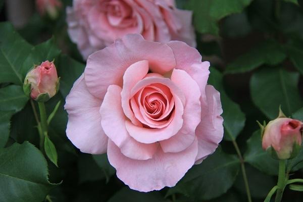 IMG_9502 rose 170204.jpg