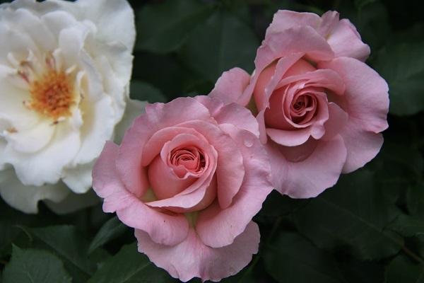 IMG_9504 rose 170205.jpg