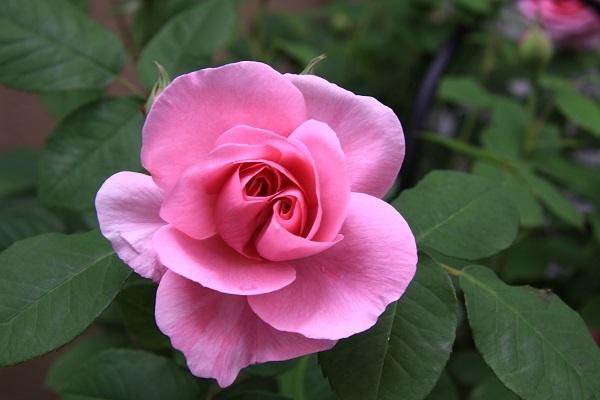 IMG_9507 rose170105.jpg