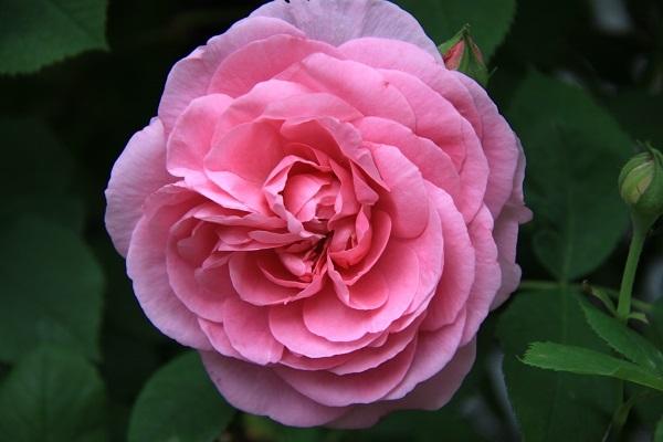 IMG_9509 rose170106.jpg