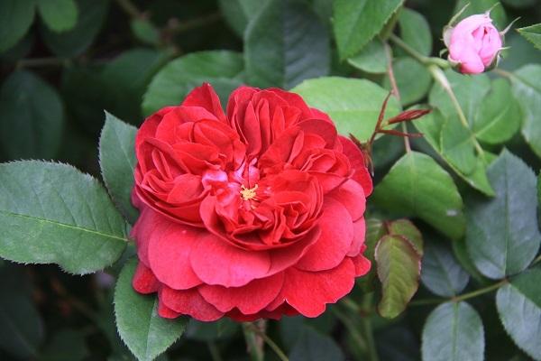 IMG_9511 rose170108.jpg