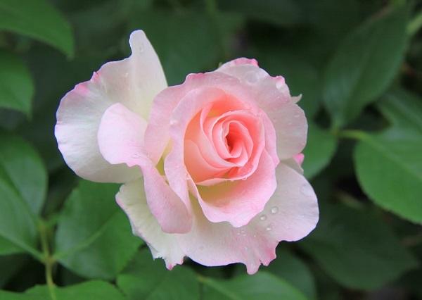 IMG_9525 rose 170201.jpg