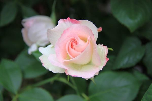 IMG_9526 rose 170202.jpg