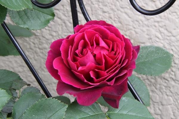 IMG_9550 rose 170211.jpg
