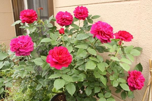 IMG_9556 rose170110.jpg