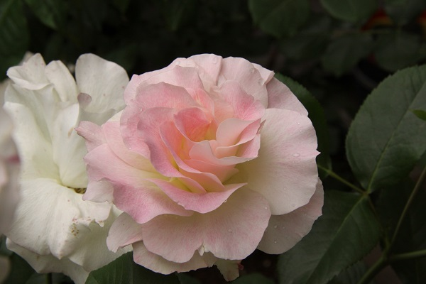 IMG_9569 rose 170203.jpg