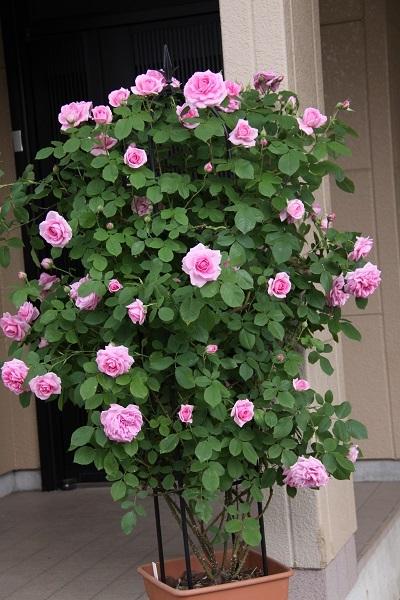 IMG_9582 rose170107.jpg