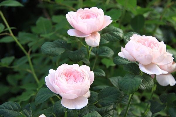 IMG_9612 rose170112.jpg