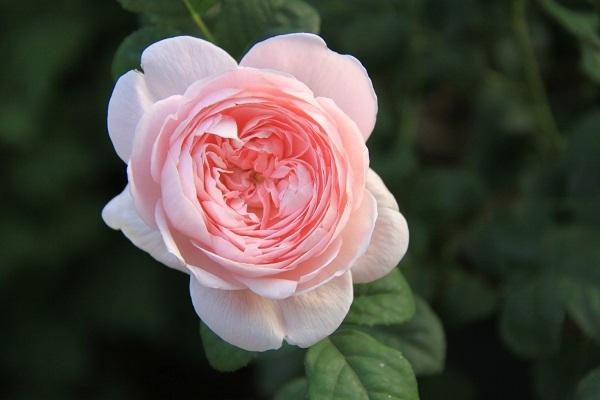 IMG_9613 rose170113.jpg