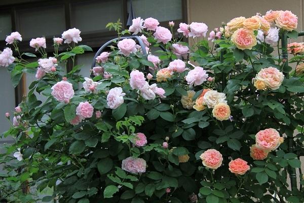 IMG_9655 rose 170214.jpg