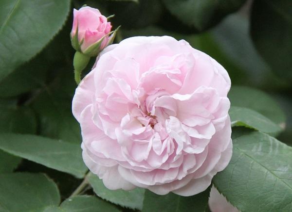 IMG_9659 rose 170215.jpg