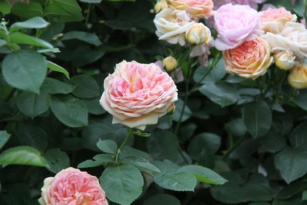 IMG_9661 rose 170216.jpg