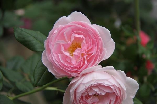 IMG_9677 rose170114.jpg