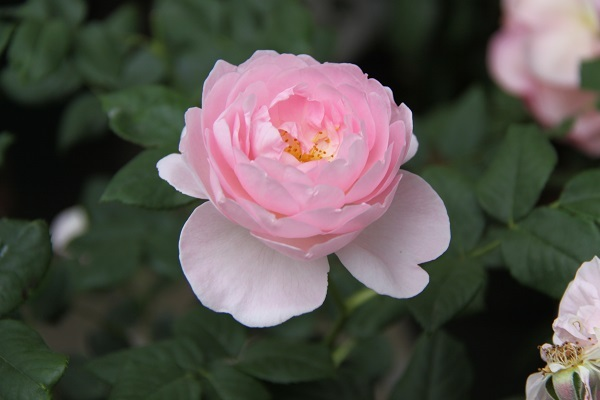 IMG_9678 rose170115.jpg