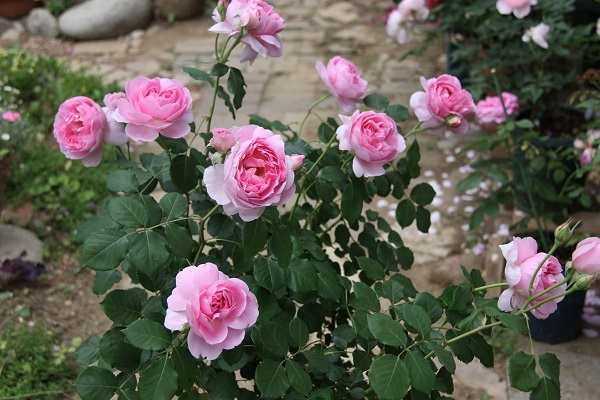 IMG_9682 rose170116.jpg