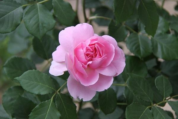 IMG_9684 rose170117.jpg