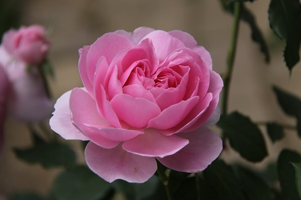 IMG_9686 rose170118.jpg