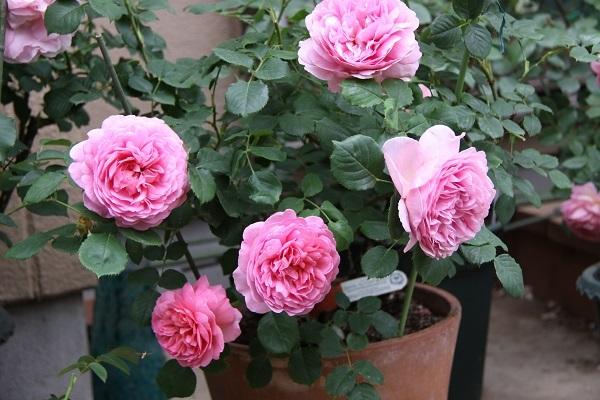 IMG_9691 rose170119.jpg